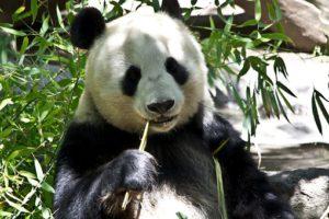 1 panda chewing bamboo