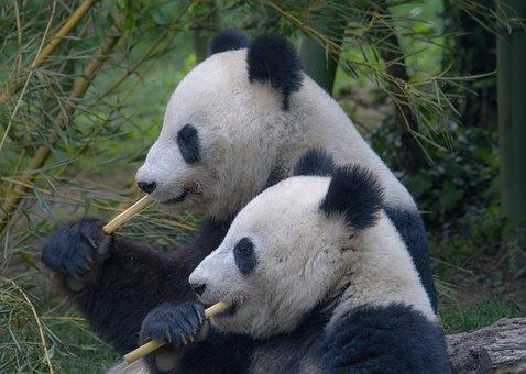 2 pandas chewing bamboo