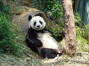 panda reclining against rock