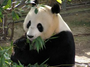 panda chewing bamboo leaves