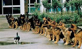 cat walking in front of row of German shepherds